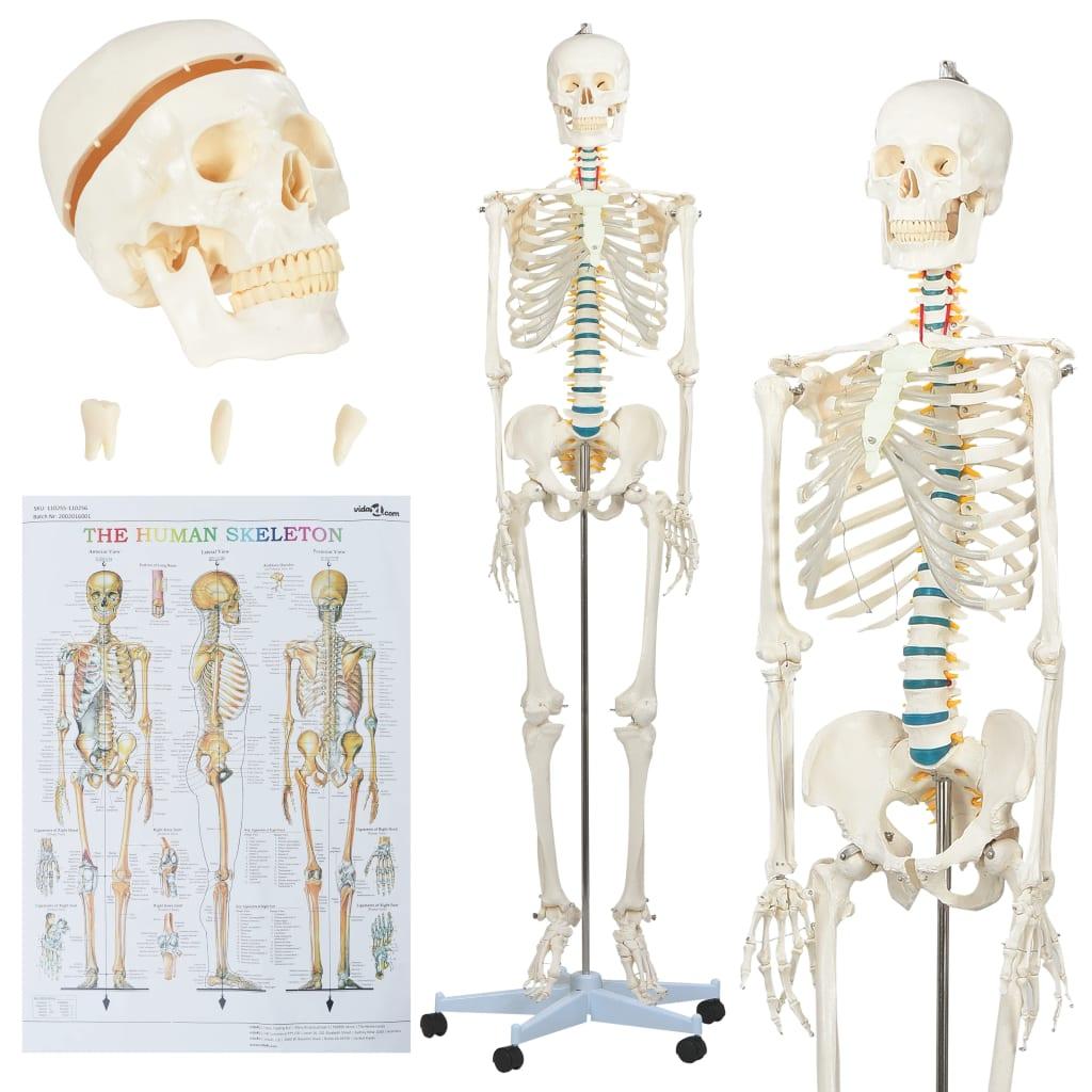 vidaXL Anatomický výukový model ľudskej kostry s plagátom 181 cm
